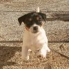 Cucciolate Jack Russel Golden Pepper